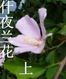 什夜兰花(上)
